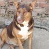 Canela perra adopción palevlas 06