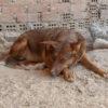 Canela perra adopcion palevlas 02