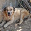 Canelo perro adopcion palevlas 02