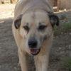 Canelo perro adopcion palevlas 05