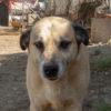Canelo perro adopcion palevlas 06